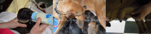 Fighting Canine Mastitis, The crucial 48